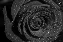 roos-zwart-wit